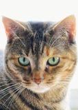 Cabelo curto Tabby Cat com olhos verdes fotos de stock royalty free