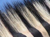 Cabelo da zebra Foto de Stock