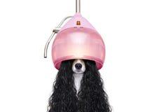 Cabelo de secagem do cão em cabeleireiro imagens de stock royalty free