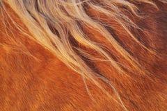 Cabelo do cavalo Fotografia de Stock