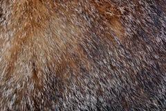 Cabelo do gato Imagem de Stock Royalty Free