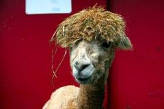 Cabelo engraçado da alpaca Fotografia de Stock Royalty Free