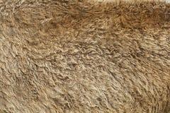 Cabelo velho do bisonte da textura da pele Fotografia de Stock