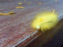 Cabelos espinhosos da lagarta Fotografia de Stock