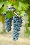 Cabernet Druiven Royalty-vrije Stock Afbeeldingen