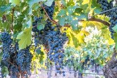 Cabernet druiven in wijnstokken klaar om in Napa-Vallei te oogsten Stock Foto's