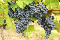 Free Cabernet Franc Black Grape Vines Royalty Free Stock Photography - 101973057