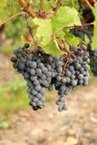 Cabernet Franc black grapes. Loire Valley Cabernet Franc black grapes royalty free stock photos