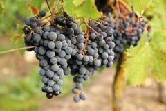 Cabernet Franc black grapes. Loire Valley Cabernet Franc black grapes stock photo