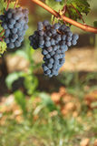 Cabernet Franc grapes, close up. Cabernet Franc grapes growing in a vineyard at sunset time. Vintage toned image, selective focus, blank space royalty free stock photography