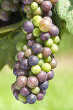 Cabernet Franc Grapes Ripening Royalty Free Stock Photography