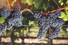 Cabernet Franc grapes on vine growing in a vineyard Royalty Free Stock Photos
