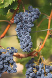 Cabernet Franc grapes on the vine. Ready for harvest, selective focus royalty free stock photography