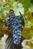 Cabernet Grapes. On the vine Stock Image