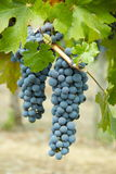 Cabernet Grapes. On the vine Royalty Free Stock Images