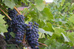 Cabernet Grapes surrounded by grape leaves Stock Images