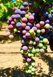 Cabernet Grapes in Veraison. Napa Cabernet grapes in the Veraison stage (when color develops in red grapes royalty free stock images