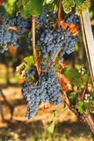 Cabernet  grapes on a vine and vine leaves with autumn tints Stock Photo