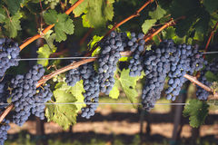 Cabernet grapes on vine. Ripe Cabernet grapes on vine growing in a vineyard at sunset time. Vintage toned image, selective focus royalty free stock images