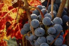 Cabernet Sauvignon close up. Close up of Cabernet Sauvignon grapes, California Stock Images