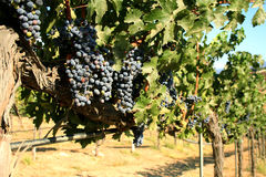 Cabernet - Sauvignon druiven Stock Fotografie