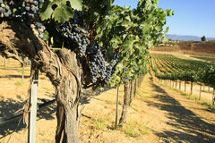 Cabernet - Sauvignon druiven Stock Foto