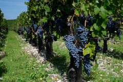 Cabernet - Sauvignon-druiven van Pauillac stock foto's