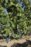 Cabernet Sauvignon grape's Stock Photography