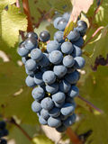 Cabernet Sauvignon Grapes Royalty Free Stock Photo