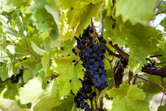 Cabernet Sauvignon grapes Stock Image