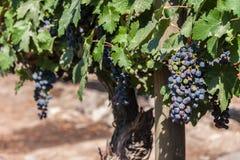 Cabernet Sauvignon Grapes. A bunch of cabernet sauvignon red grapes in a vineyard in Santiago do Chile, Maipo Valley Stock Photography