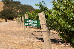 Cabernet Sauvignon grapes growing in California Stock Photo
