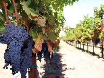 Cabernet Sauvignon grapes on vine. Blue Cabernet Sauvignon grapes on the vine ripe for harvesting Stock Photography