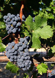 Cabernet Sauvignon grapes on vine Royalty Free Stock Photo
