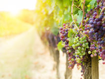 Cabernet sauvignon grapes in a vineyard in Bordeaux Stock Photos
