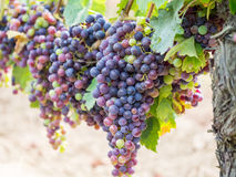 Cabernet sauvignon grapes in a vineyard in Bordeaux Royalty Free Stock Photos