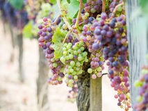 Cabernet sauvignon grapes in a vineyard in Bordeaux Royalty Free Stock Photography