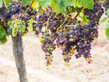Cabernet sauvignon grapes in a vineyard in Bordeaux Royalty Free Stock Image