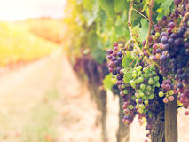 Cabernet sauvignon grapes in a vineyard in Bordeaux Stock Image