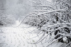 cabernet Sauvignon śnieg - Fotografia Royalty Free