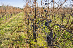 Cabernet Sauvignon Red Wine Grape Hanging on the Vine in Late Fall #2 Royalty Free Stock Photos
