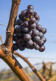 Cabernet Sauvignon Red Wine Grape Hanging on the Vine in Late Fall #1 Royalty Free Stock Image