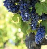 Cabernet sauvignon red wine grapes growing bordeaux French vineyard. Cabernet sauvignon red wine grapes French vineyard Royalty Free Stock Images