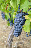 Cabernet Sauvignon Red Wine Grapes on the Vine #1 Royalty Free Stock Photos