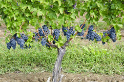 Cabernet Sauvignon Red Wine Grapes on the Vine #2 Stock Image