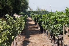 Cabernet Sauvignon Vineyard Chile. A vineyard nearby Santiago do Chile with the dark thick skin Cabernet Sauvignon red wine grapes Royalty Free Stock Photos