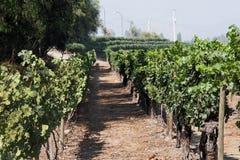cabernet - sauvignon vingård royaltyfria foton