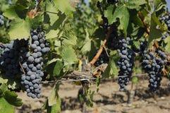 Cabernet, Sauvignon winogrono - Zdjęcia Stock