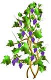 Strauch mit frischen Trauben und Blättern für Weinproduktion. Stockfoto
