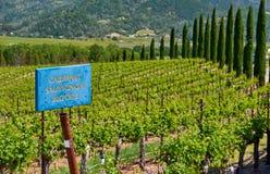 Cabernet - variation för den sauvignon vindruvan undertecknar in vingården royaltyfri bild